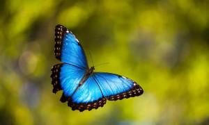 19-transformations-de-chenilles-en-papillons-avant-apres-Morpho-peleides-2