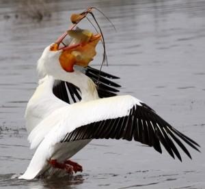 Pelican-Wins1